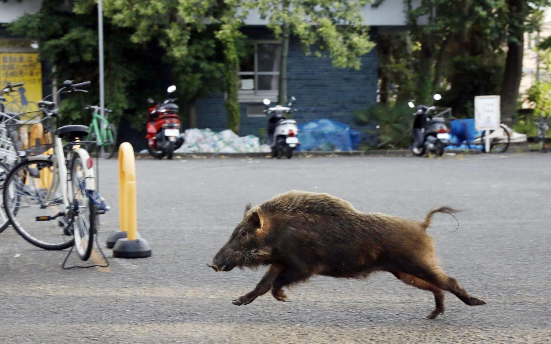 wild_boar_running_in_Kioto