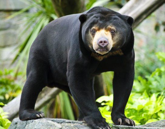 Малайскитй медведь или бируанг.